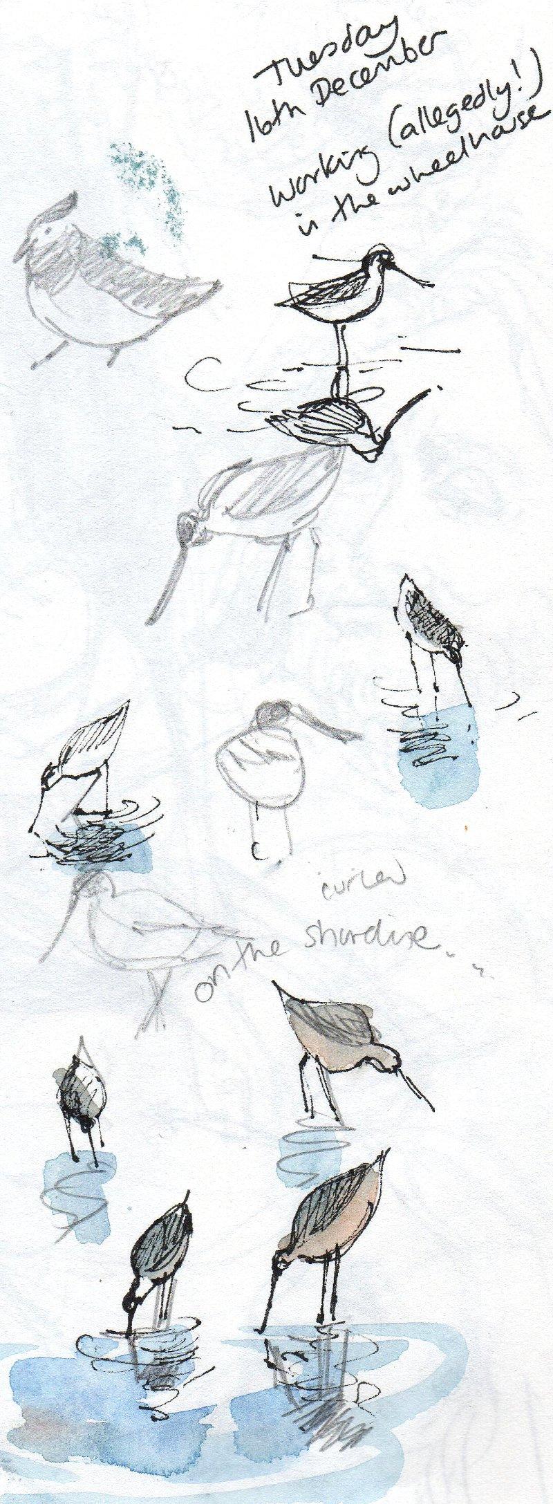 curlew sketch